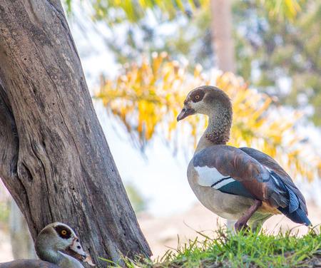 red ducks 版權商用圖片