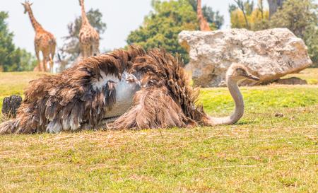 ostrich resting 版權商用圖片