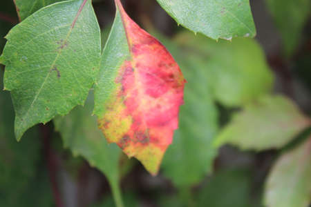 Green leaves and a red leaf Stock fotó