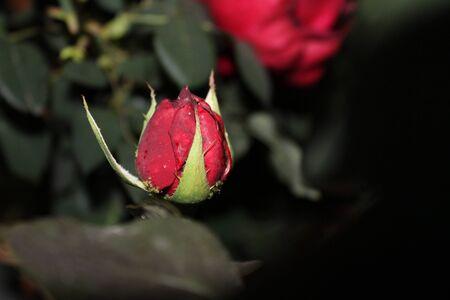Red rose in cocoon Stock fotó