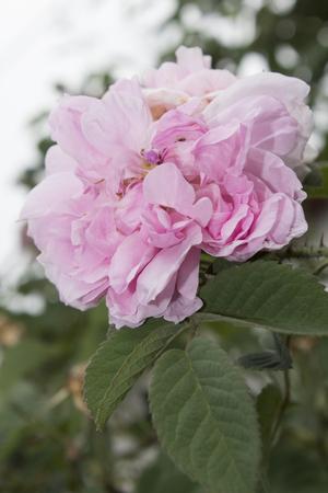 Rosa de Castilla 版權商用圖片