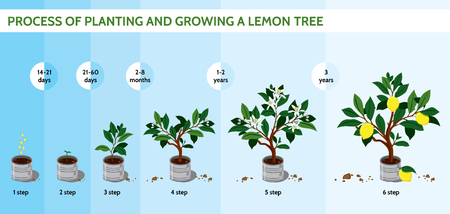 Process of planting and growing a lemon tree. Lemon cultivation in stages. Lemon tree in a pot Illustration