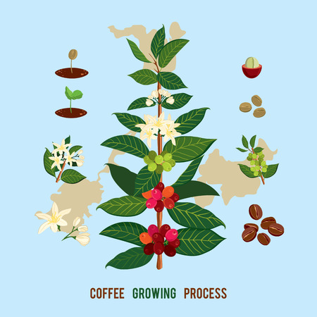 Beautiful and colorful botanical illustration of a coffee plant and tree. The Coffee Tree, Showing Details of Flowers and Fruit. Vector illustration Coffe arabica Ilustração
