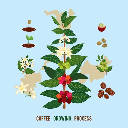 Ilustração botânica bonita e colorida de uma planta e de uma árvore de café. A árvore de café, mostrando detalhes de flores e frutas. Ilustração vetorial Coffe arabica
