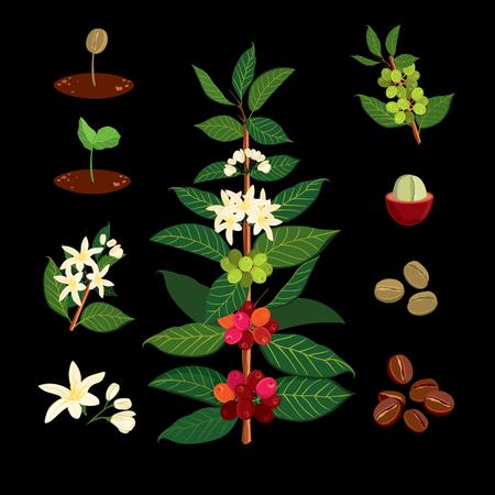 コーヒー植物と木の美しい、カラフルな植物イラスト。コーヒーの木、花およびフルーツの詳細を表示します。ベクトル イラスト コーヒー アラビ