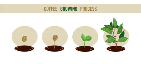 Plant seed germination stages. Process of planting and growing a coffee tree. Coffee tree cultivation in stages. Vector illustration