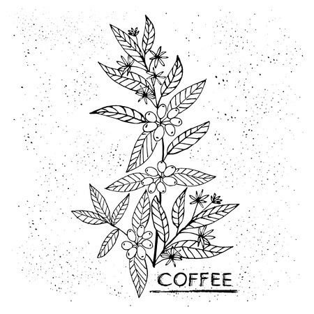 Coffee branch. Plant with leaf, flowers, berry, fruit, seed. Natural caffeine drink. Hand-drawn vector illustration for shop and poster design