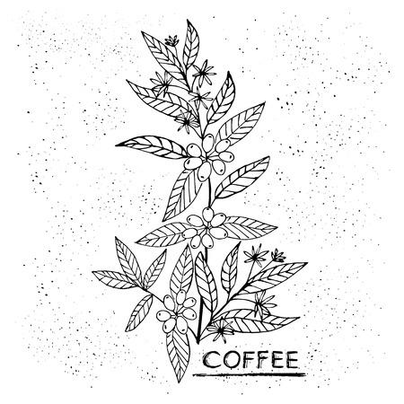 Kaffee Zweig Pflanze mit Blatt, Blumen, Beere, Obst, Samen. Natürliches Koffeingetränk Handgezeichnete Vektor-Illustration für Shop und Poster-Design Standard-Bild - 82443316