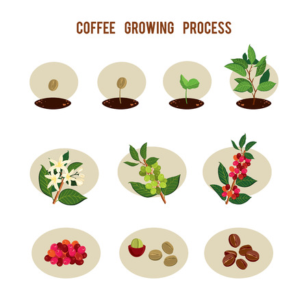 Plant seed germination stages. Process of planting and growing a coffee tree. Coffee tree cultivation in stages. Vector illustration Stok Fotoğraf - 82812626