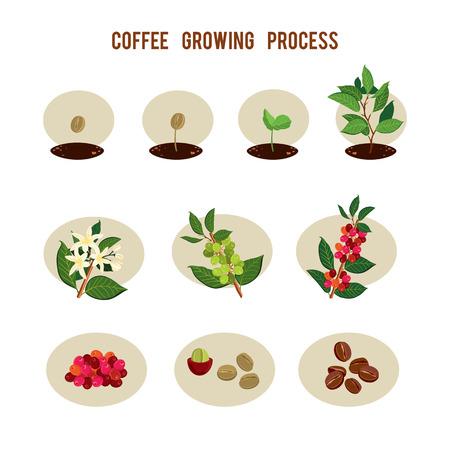 Fasi di germinazione dei semi di pianta. Processo di piantare e coltivare un albero di caffè. Coltivazione del caffè in fasi. Illustrazione vettoriale