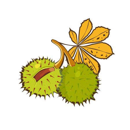 ?hestnuts hand drawn with yellow leaves of horse chestnut tree and Conkers in shell. Vector icon. Cartoon illustration of the sweet chestnuts. Isolated on white background