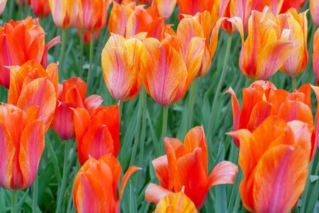 Close-up of amazing bright red tulips. Blooming colorful flowers in a tulip field, against the background in the garden.