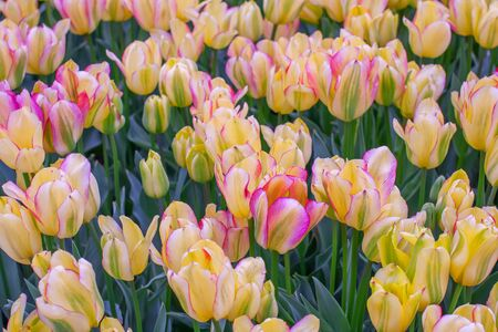 Colorful tulips in the flower garden. This is Keukenhof Park in the Netherlands (province of South Holland) 版權商用圖片