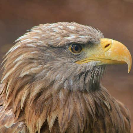 Head of a golden eagle Standard-Bild