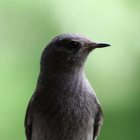 Close-up of a Black Redstart