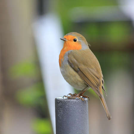Red Breasted Robin perched on a metal post Standard-Bild