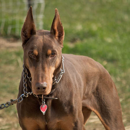 Red & Rust Doberman Pinscher