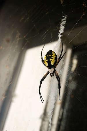 Writing Spider Female