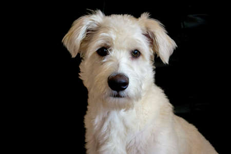 white dog: A white dog with a black background portrait