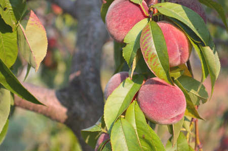 Peaches growing on a tree. Ripe, juicy peaches in August