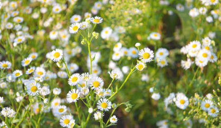 Flowering daisies. Chamomile, white Leucanthemum vulgare. Wild camomile in the field. 版權商用圖片