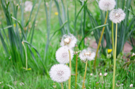 Blowball of Taraxacum plant on long stem. Blowing dandelion clock of white seeds on blurry green plant background of summer meadow. Fluffy texture of white dandelion flower closeup. Fragility concept.