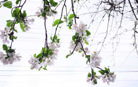 Blooming apple tree in the spring. Bright white flowers on tree branches. Stock fotó