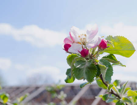 Apple tree in spring blossom. Garden and orchard in the spring. Buds and flowers of a tree in the spring.