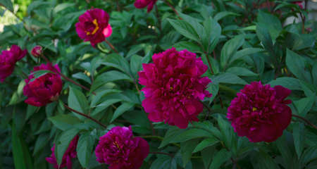 Peonies in the garden. Peony bushes in the summer. Close up from the side. Pink-red peony flowers. Bright fluffy spring-summer flowers. Фото со стока