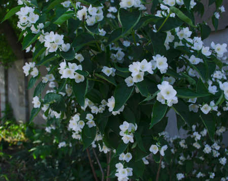 Jasmine flowers in the foreground. Spring-summer landscape with delicate jasmine flowers. Close-up on the side. Jasmine bush near the house in the summer. Foto de archivo