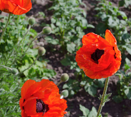 Red poppy in a private garden. Poppy flowers close-up. Jar with poppy seeds after flowering. Perennial plant in the summer.