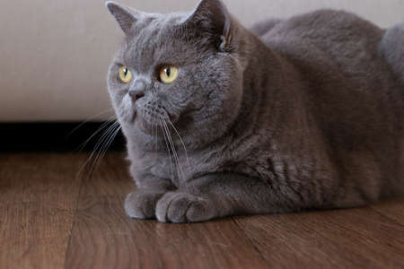 Portrait of an elegant British Shorthair cat sitting on the floor in a room