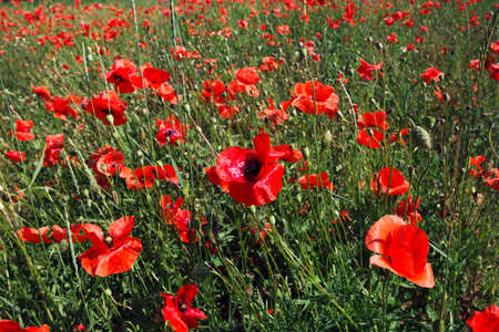 red poppies on green field: Field of red poppies on a green grass background