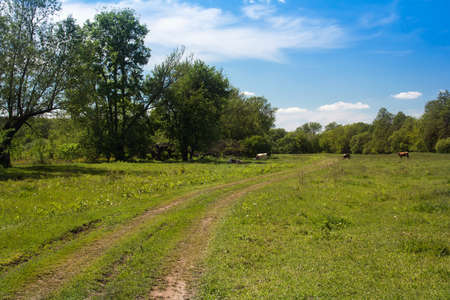 forked: landscape consisting of a green grassy valley with forked footpath, trees and blue sky with white cloud and grazing cows