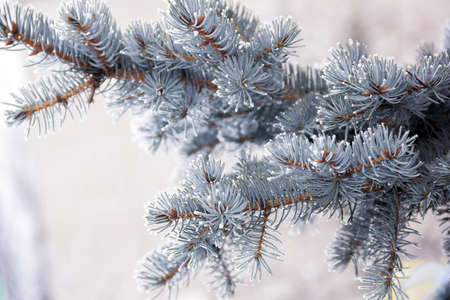 a sprig of blue spruce covered with snow as a background