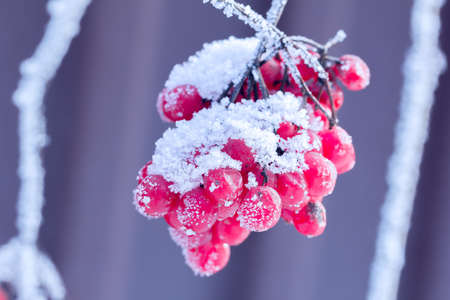 bunchy: red viburnum on the branch covered by hoarfrost, close up Stock Photo
