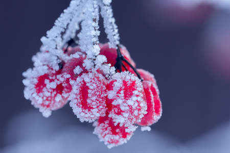 frost winter: red viburnum on the branch covered by hoarfrost, close up Stock Photo