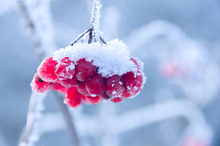 red viburnum on the branch covered by hoarfrost, close up Stock Photo