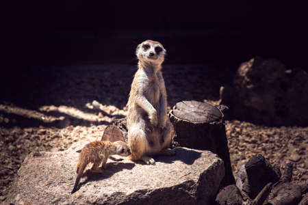 alert female meerkat with her cub 写真素材 - 97940349