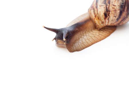 Achatina reticulata con testa scura su sfondo bianco