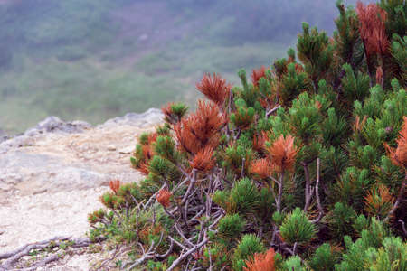 sprouts of fir trees on a head of a mountain Stock Photo