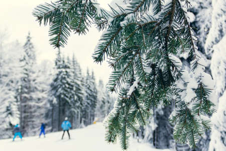 skiers go down the slope of the mountain and fir trees on a foreground