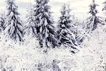 the spruces  are covered with white snow in winter