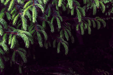 green spruce branch as a background Imagens