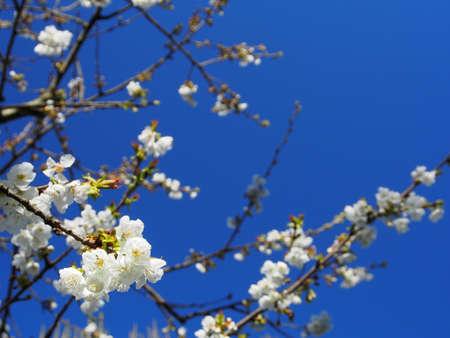 cherrytree: WHITE CHERRY FLOWERS IN BLUE SKY Stock Photo