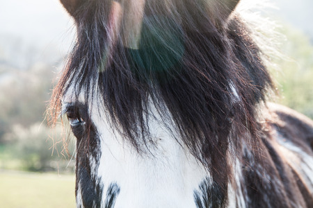 Bi-Coloured Blue Eyes Horse on a Sunny Summer Day with Chromatic Aberration