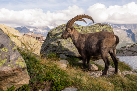 Alpine Wild Ibex Pausing in front of a Rock on a Sunny Summer Day Standard-Bild - 103398152