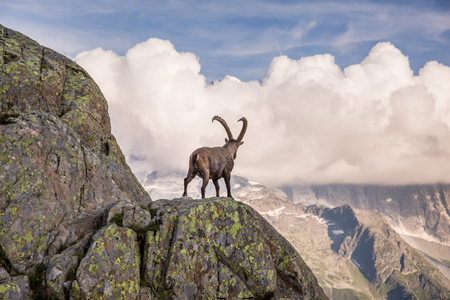 Wild Ibex in front of Iconic Mont-Blanc Mountain Range on a Sunny Summer Day Standard-Bild - 103398170