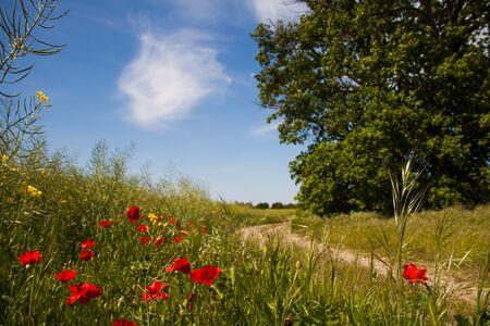 Red Poppy Flowers in Green Fields in Summer Reklamní fotografie