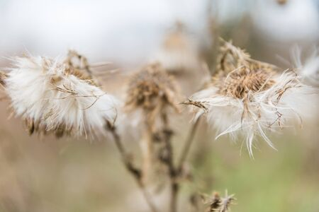 Dried White Milkweed Flowers in Golden Winter Vegetation and Blurred Background